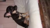 chihuahua boomer pup