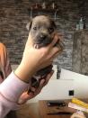 blauwe american stafford pups