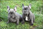 Blauwe Franse bulldog pups beschikbaar.
