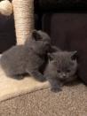 Prachtige blauwe Britse kittens