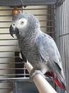 vrij tamme grijze roodstaart papegaai