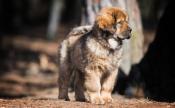 Tibet-dogge (Do Khyi)