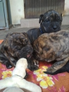 Honden en Puppy's Ca de Bou, Perro de Presa Mallorquin, Mallorca-Dogge