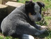 Vriendelijke Australische catle (blauwe genezer) pup beschikbaar