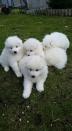 Prachtige Pure White Samoyed Pups