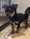 Kc geregistreerde Chihuahua-puppy's