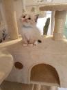 Volwaardige Ragdoll-kittens