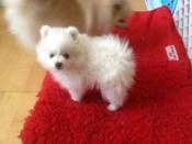 Schattige Duitse Spitz-puppy's te koop