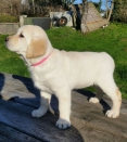 Beschikbare Labrador Puppies te koop
