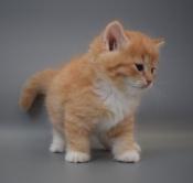 Siberische Kittens met stamboom