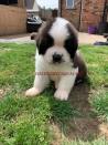 Zeer mooie Sint Bernard-puppy's