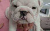 Britse Bulldog puppies