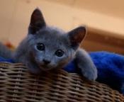 Russische blauwe kittens beschikbaar